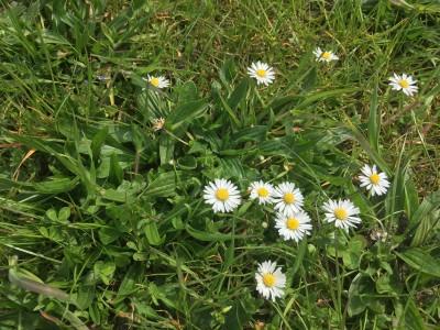 Frühlingsboten Gänseblümchen
