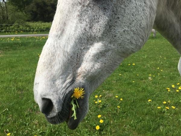 Pferde brauchen Kräuter für ihre Gesundheit, deshalb immer auf eine gute Mischung mit Gräsern achten